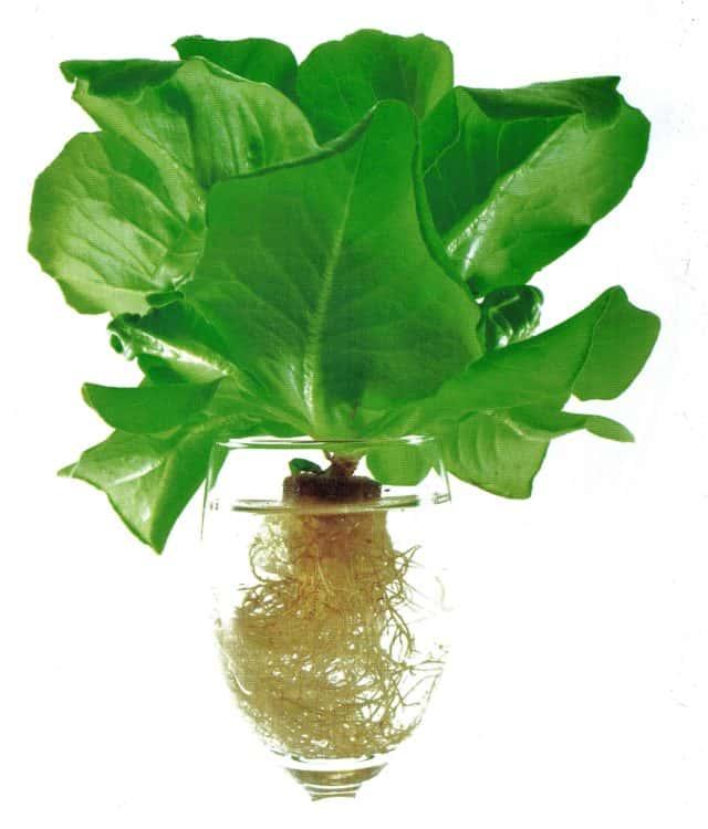 Idroponica coltivare con sapienza senza pesticidi e - Coltivazione idroponica in casa ...