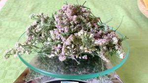 fiori di achillea millefolium